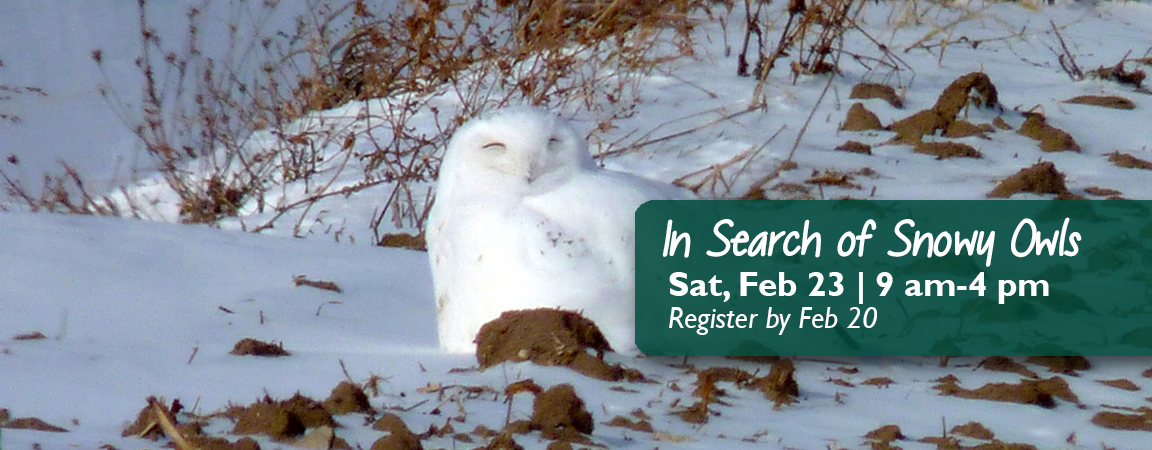 In Search of Snowy Owls